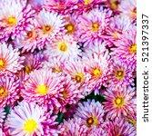colorful autumnal chrysanthemum ...   Shutterstock . vector #521397337