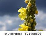black mullein or dark mullein ... | Shutterstock . vector #521408803