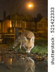 Urban Fox  Beside Collected...