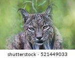 iberian lynx   Shutterstock . vector #521449033