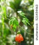Small photo of Single Orange Abutilon flower hanging from tree