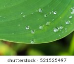 Water Drops On Water Canna Leaf