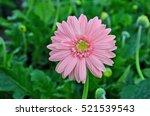 Pink Gerbera Flower On Green...
