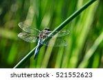 Blue Dragonfly Sitting  Green...