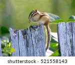 Chipmunk small striped rodent of the squirrel family. The photo Siberian chipmunk.