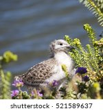 A  Beautiful Seagull  Speckled...