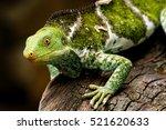Fijian Crested Iguana ...