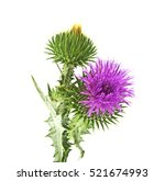 Milk Thistle Plant  Silybum...