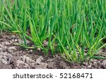 Spring Green Onions Are Sprouts