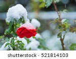 Stock photo snow on the rose 521814103