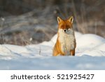 mammals   red fox  vulpes... | Shutterstock . vector #521925427