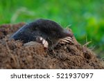mole  talpa europaea  crawling... | Shutterstock . vector #521937097