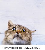 Stock photo frightened and surprised gray cat looking up with wide open eyes on white background 522055087