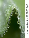 Small photo of Lady's Mantle (Alchemilla mollis) with waterdrops