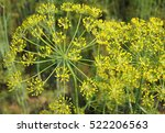 inflorescence of organic dill... | Shutterstock . vector #522206563