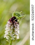 Small photo of Burnt-tip orchid (Neotinea ustulata) and grasshopper (Tettigonia viridissima). Liguria. Italy.