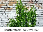 Old Garden Brick Wall With Ivy...
