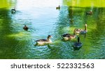 Flock Of Wild Ducks Swimming O...