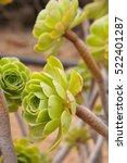 Small photo of Bunch of green Aeonium decorum succulent plant