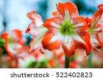 Hippeastrum Amaryllis Red...