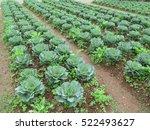 cabbage farm at mon cham hill... | Shutterstock . vector #522493627