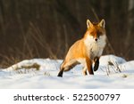 Mammals   Red Fox  Vulpes...