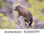 Marmot  Marmota Marmota  In...