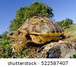 Hermann's Tortoise  Testudo...