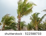 Windy Coconut Tree At The Beach.