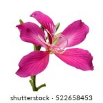 Purple Bauhinia Flower Isolate...