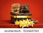 Pomeranian Puppies In A Basket...