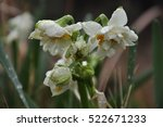rain droplets and daffodils | Shutterstock . vector #522671233