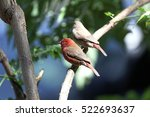 a pair of red billed... | Shutterstock . vector #522693637