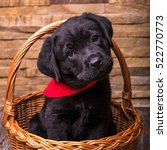 Stock photo labrador retriever puppy dogs wooden background 522770773