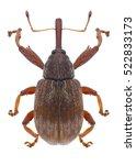 Small photo of Beetle Anthonomus rectirostris on a white background