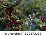 Bush With Red Berries...