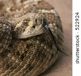 Small photo of diamondback head shot with tongue out and still