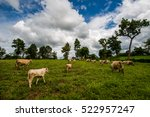 herd of cows. cows on the field | Shutterstock . vector #522957247