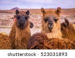 Two Brown Lamas Looking...