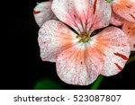 Pink Geranium Speckled Flowers...
