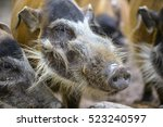 Red River Hog In The Zoo.  Fac...