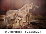 pack of wolf in the autumn...   Shutterstock . vector #523265227