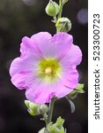 Small photo of Pink Hollyhock flower (Alcea rosea)