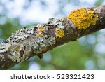 Lichens On The Branch