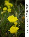 Oenothera Macrocarpa  The...