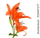 Orange Daylily Isolated On White