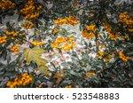 Scarlet Firethorn  Pyracantha...