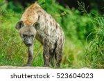 hyena in safari with green... | Shutterstock . vector #523604023