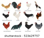poultry farming. chicken breeds ... | Shutterstock .eps vector #523629757