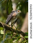 Small photo of Besra or Little Sparrow Hawks (Accipiter virgatus) Standing on branch